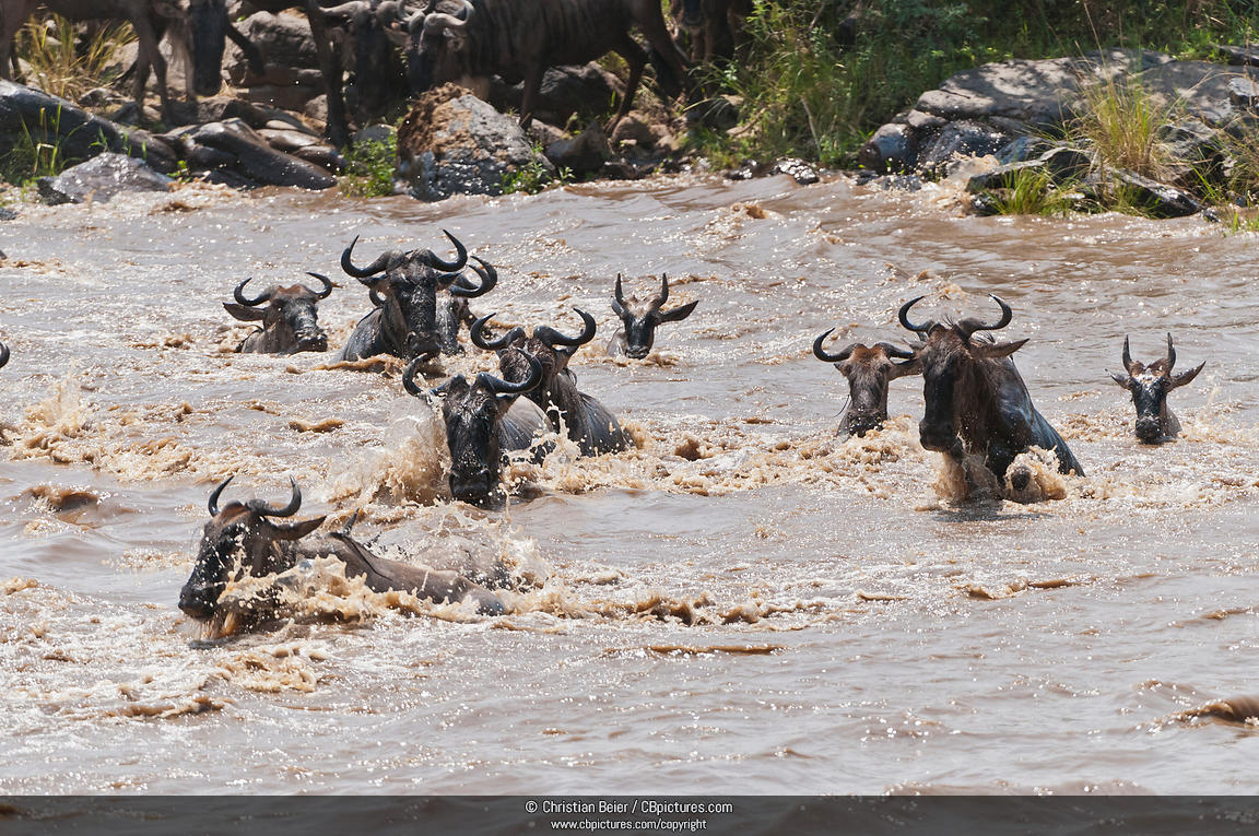 A group of Blue Wildebeest (Connochaetes taurinus) rossing the Mara River during the Great Migration, Maasai Mara National Reserve, Rift Valley, Kenya, Africa